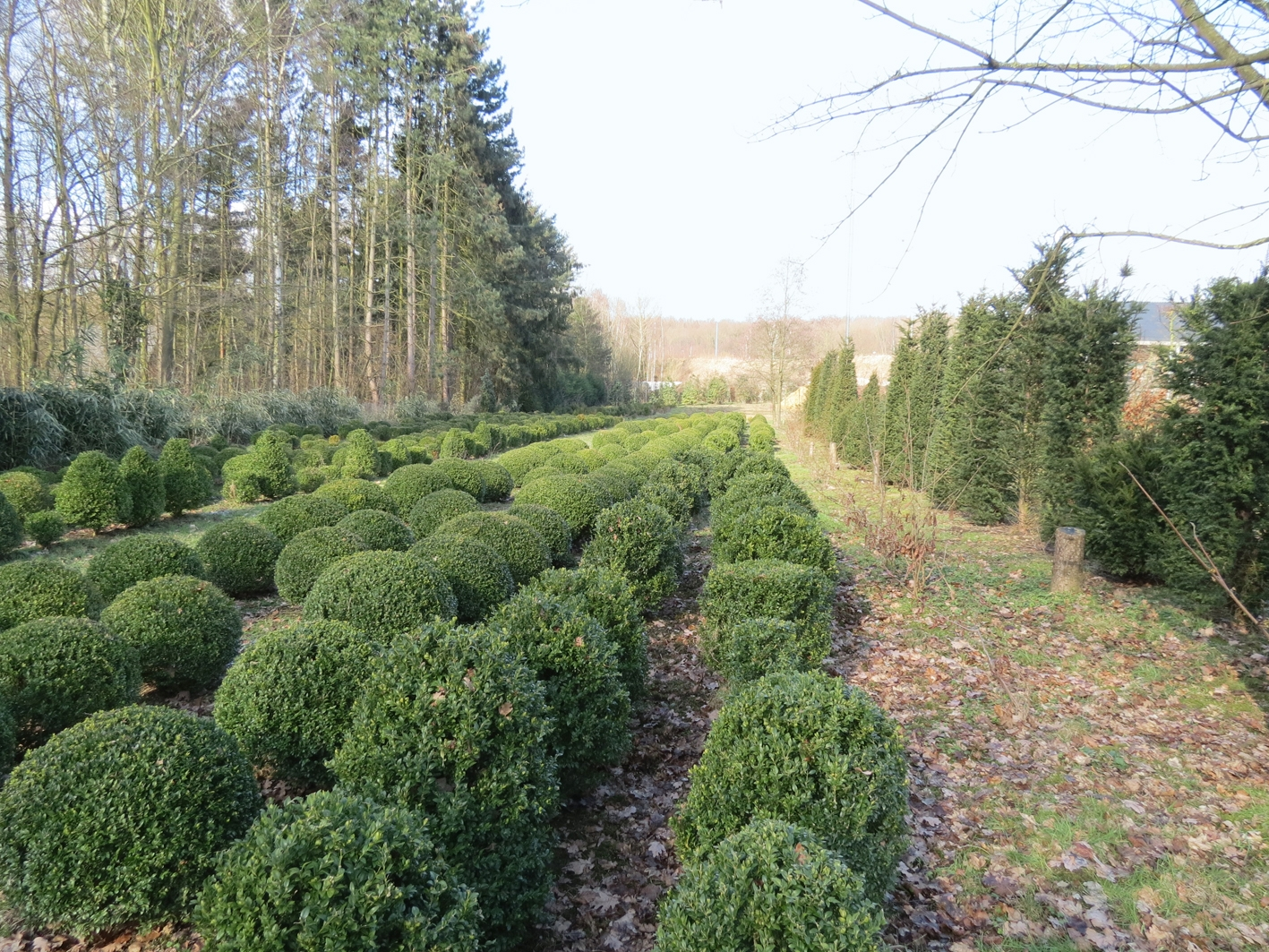 Buxus boules