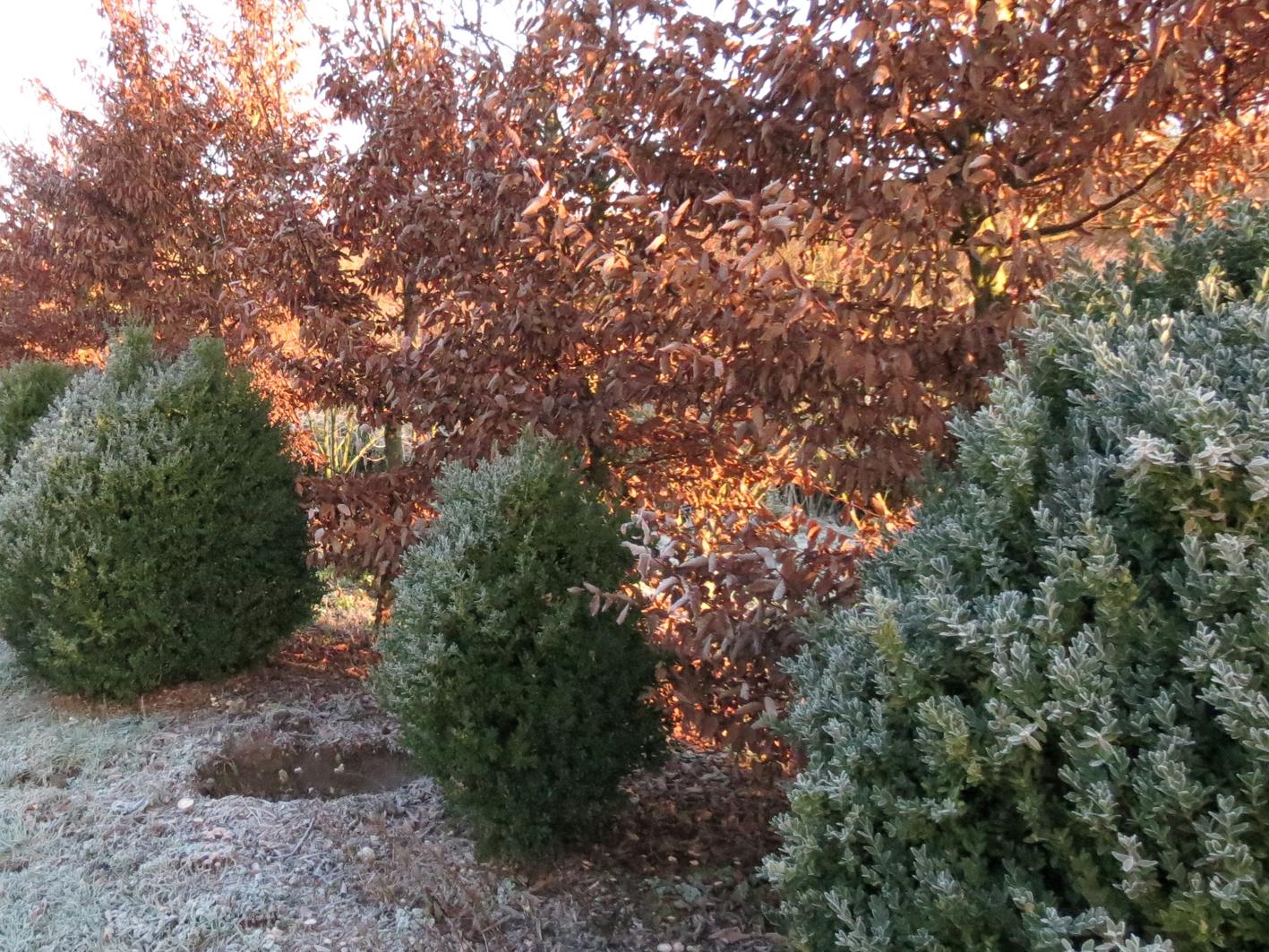 Buxus et Carpinus hivernal