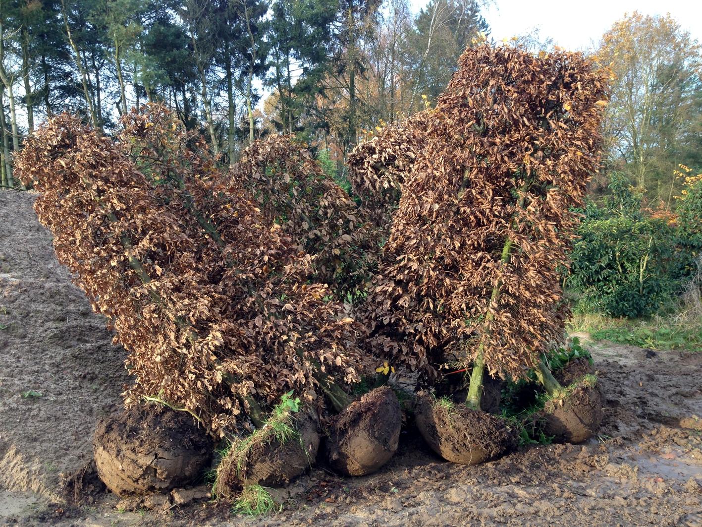 Colonnes Carpinus hivernal