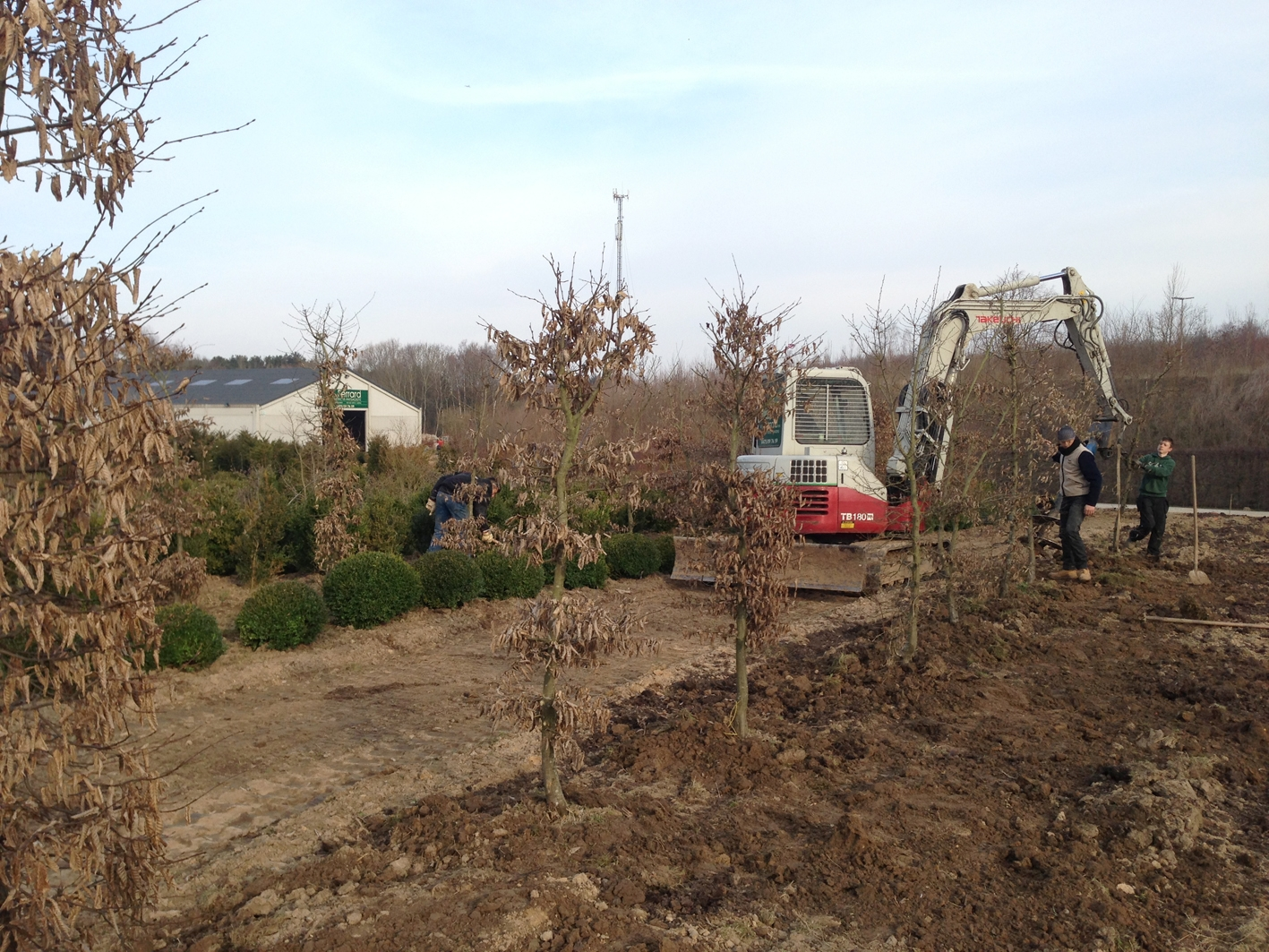 Transplantation Carpinus hivernal